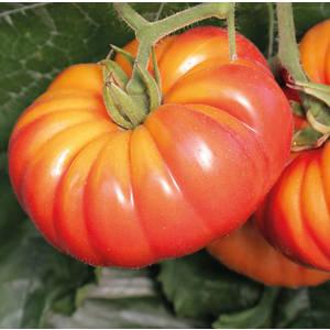 Tomate Côtelée Potiron Écarlate bio. Cartonnette de 1 plant 709481