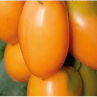 Tomate Allongée Orange Banana bio. Cartonnette de 1 plant 709482