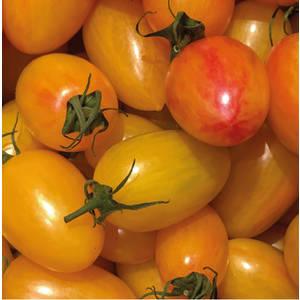 Tomate Cocktail Allongée Blush bio. Le pot compostable de 10,5 cm 709507