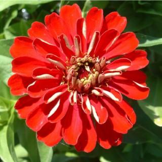 Zinnia fleur à couper la barquette de 6 plants 709520