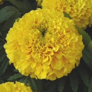 Rose d'Inde fleur à couper la barquette de 6 plants 709521