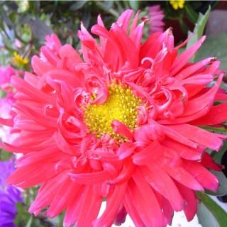 Reine Marguerite fleur à couper la barquette de 6 plants 709522