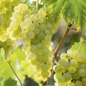 Vigne Catarratto bio. Le pot de 6 litres 709900