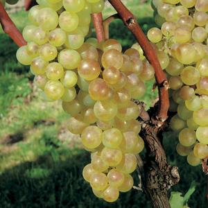 Vigne Fragola Bianca bio. Le pot de 6 litres 709901