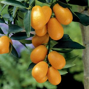 Kumquat bio. Le pot de 6 litres 709906