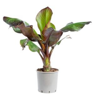Bananier rouge. Le pot de 15 litres 710774