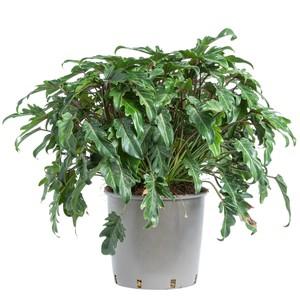 Philodendron Xanadu.  Le pot de 15 litres 710781