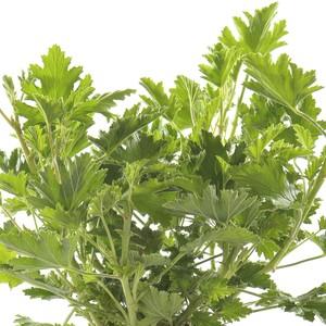 Geranium Anti Moustique. La jardinière de 50 cm 712625