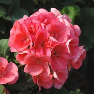 Geranium Label Rouge. Le pot de 3 litres 713914