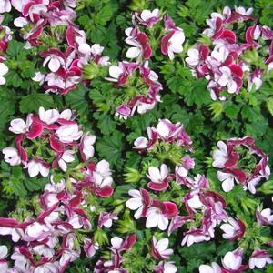 Pelargonium Grandiflorum Candy Flowers. Le pot de 13 cm 717300