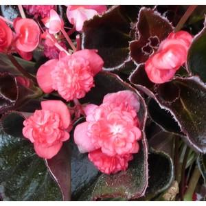 Begonia Semperflorens Double. Le pot de 0,5 litre 717599