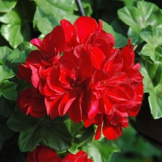 Geranium Interspecifique Caliope. Le pot de 1 litre 717634