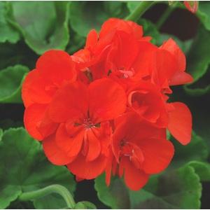 Geranium Zonal. Le pot de 2 litres 718559