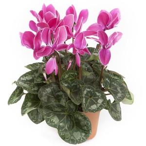 Cyclamen Grandes Fleurs. Le pot de 18 cm 720004