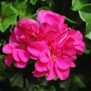Geranium Lierre Double Label Rouge. Le pot de 3 litres 720010