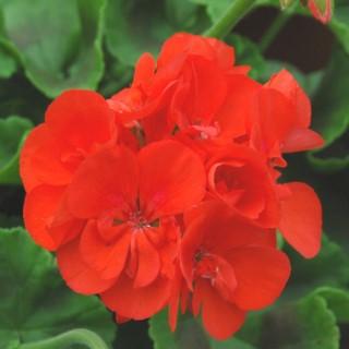 Geranium Zonal Label Rouge. Le pot de 3 litres 720011
