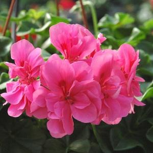 Geranium Lierre Double Label Rouge. La jardinière 720012