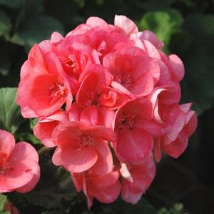 Geranium Zonal Label Rouge. La jardinière 720013