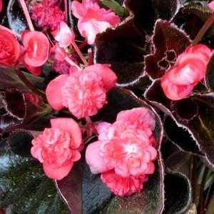 Begonia Semperflorens Double. Le pot de 10,5 cm 720015