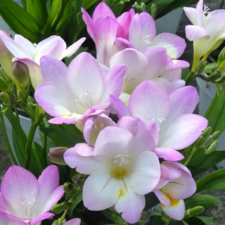 Freesia. Le pot de 1 litre 730075