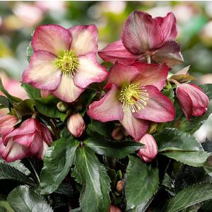 Hellébore (ou Rose de Noël) HGC ® Ice N'Roses ® Rosali rose. Le pot de 2 litres 736555