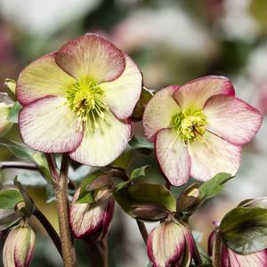 Hellébore (ou Rose de Noël) HGC ® Ice N'Roses ® Dark Picotee rose. Le pot de 2 litres 736556