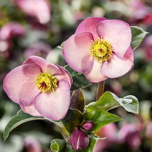 Hellébore (ou Rose de Noël) HGC ® Ice N'Roses ® Early Rose rose. Le pot de 2 litres 736558
