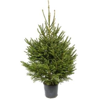 Sapin de Noël naturel en pot Picea Excelsa H 125/150 cm 781670