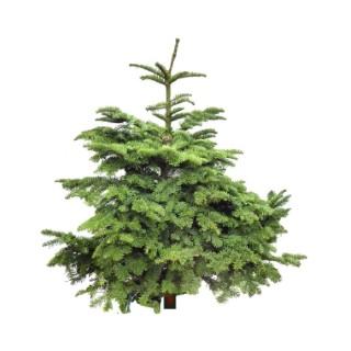 Sapin de Noël naturel Nobilis en pot avec racines 100/125 781968