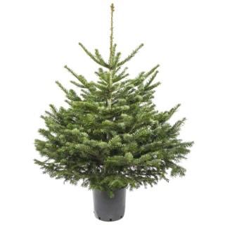 Sapin de Noël Nordmann naturel en pot avec racines 100/125 cm 781978