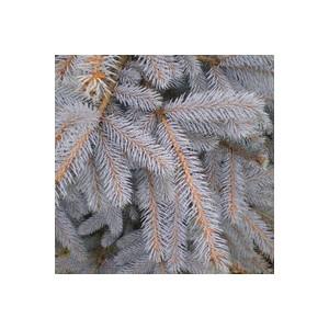 Picea Pungens ou Epicea du Colorado 40/60 cm en pot de 5 L 930549