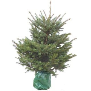 Sapin de Noël naturel en pot Picea Pungens bleu 80/100 cm 782010