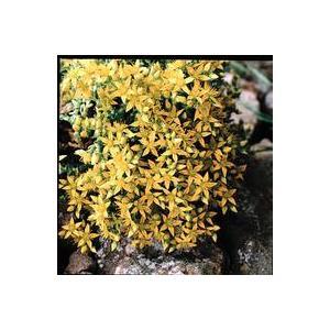 Sédum acre jaune en pot de 1 L 796266