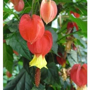 Abutilon Megapotamicum. Le pot de 9x9 cm 453208