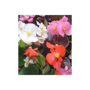 Bégonia semperflorens. La cagette de 12 plants 116857