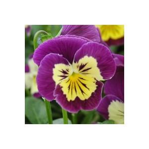Viola cornuta multicolore dans une suspension en osier 626453