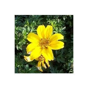 Bidens jaune. Le pack de 6 plants 916423
