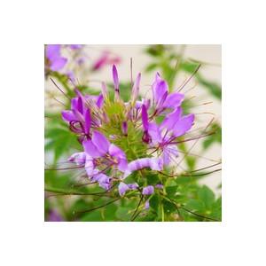 Cléome Rosita botanic® – Pot 12x12 254752