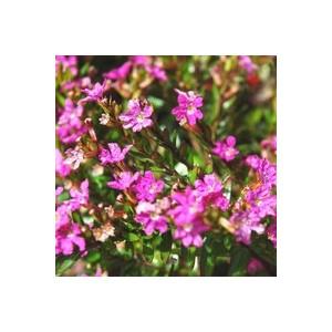 Cuphea Hyssopifolia. Le pot de 3 litres 390061