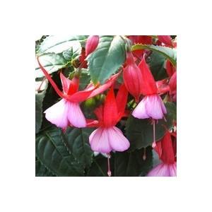 Fuchsia rouge. Le pack de 6 plants 938763
