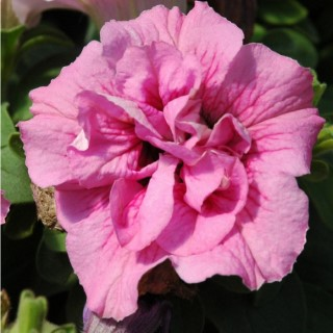 Pétunia à fleurs doubles. Le pot de 1 litre 858942