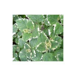 Plectranthus multicolore en pot de 1 L Ø 13-15 791225