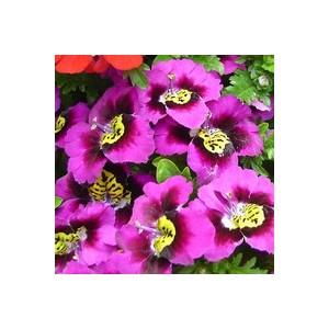 Schizanthus multicolore en pot de 1 L Ø 13-15 954798