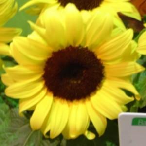 Tournesol jaune en pot de 1 L Ø 13-15 791262