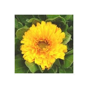 Souci des jardins multicolore en pot de 10,5 cm 791000