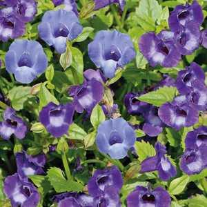 Torénia bleue en pot de 10,5 cm 632801