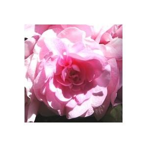 Impatiens à fleurs doubles. La suspension 25 cm 879010