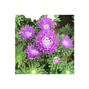 Reine marguerite multicolore en pot de 1 L Ø 13-15 791233