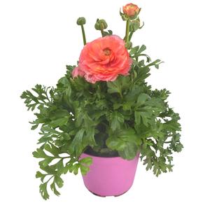 Renoncule à fleurs doubles multicolore en pot de 1 L Ø 13-15 791234