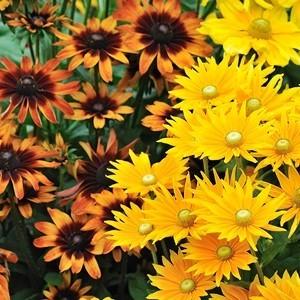 Rudbeckia annuel jaune en pot de 1 L Ø 13-15 791239